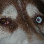 instrucciones-perritos-ciegos-unidad-de-oftalmologia-veterinaria