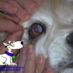 instrucciones-perritos-ciegos-unidad-de-oftalmologia-veterinaria1