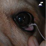 instrucciones-perritos-ciegos-unidad-de-oftalmologia-veterinaria2